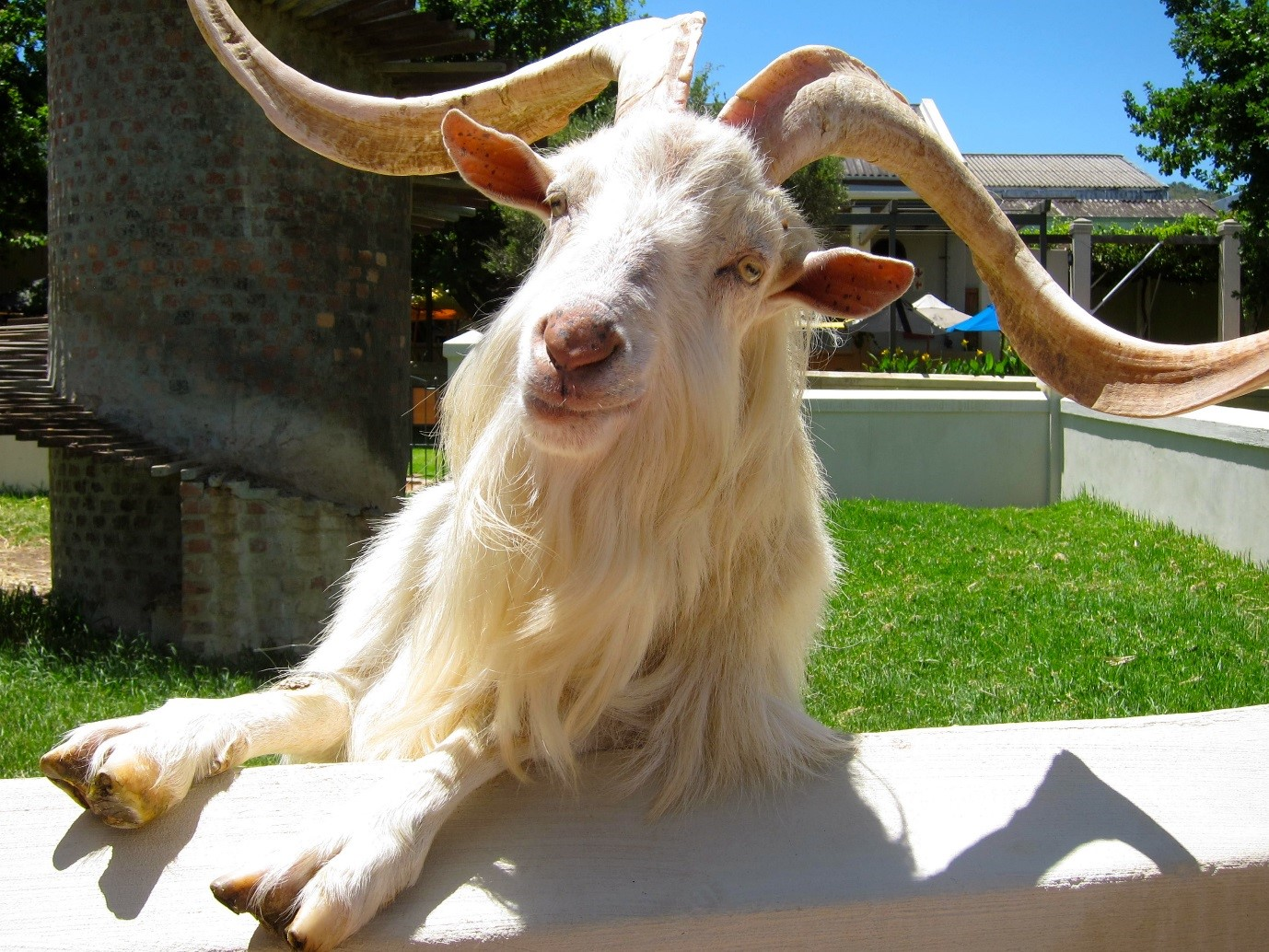 Goat at Fairview