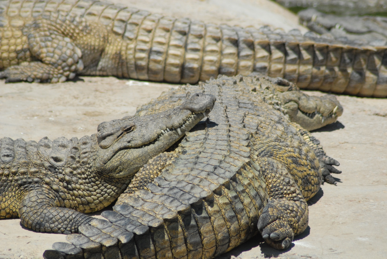 Crocodile close up