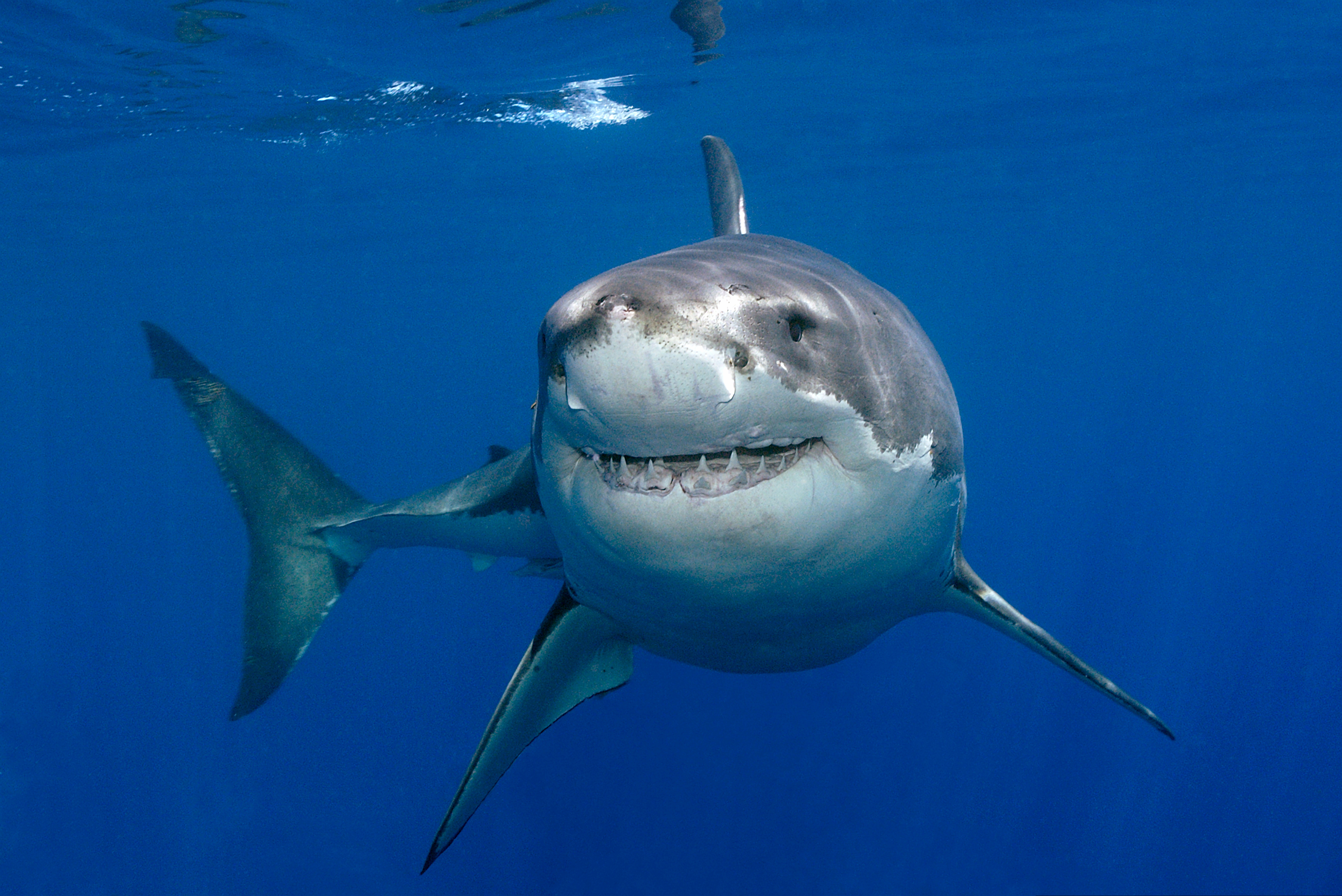 images of great white sharks - photo #12