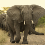The secret life of the African Bush Elephant