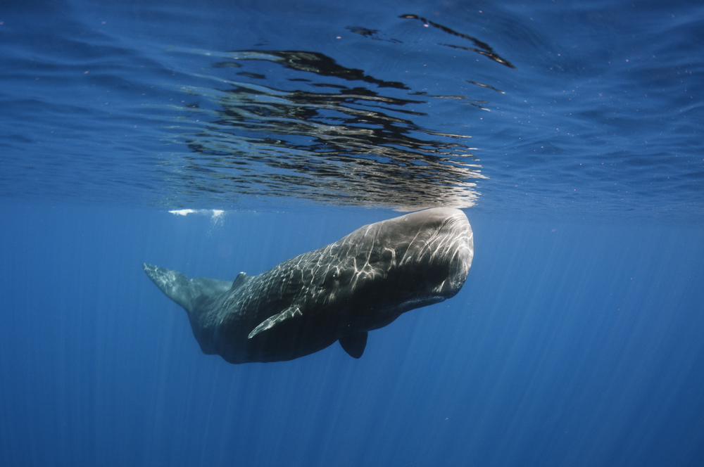 Do Sperm Whales Use Sonar To Stun Giant Squid? Science 20