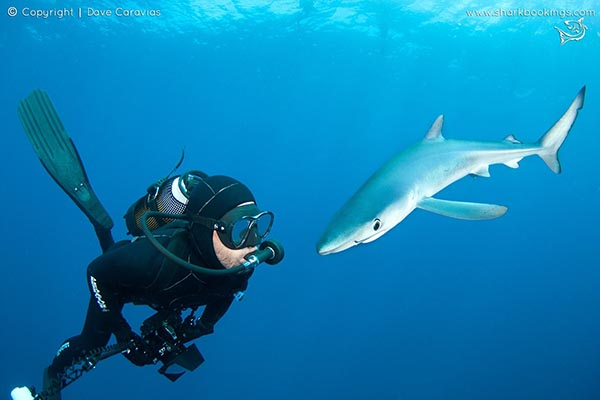 Blue and Mako diving
