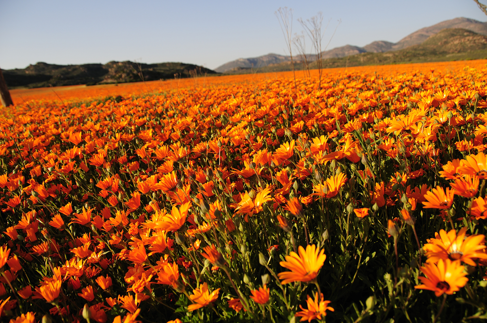 Have a blooming good spring in the Western Cape