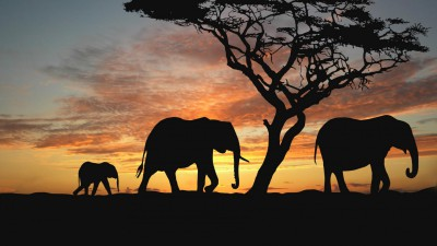 Top 4 myths about elephants debunked